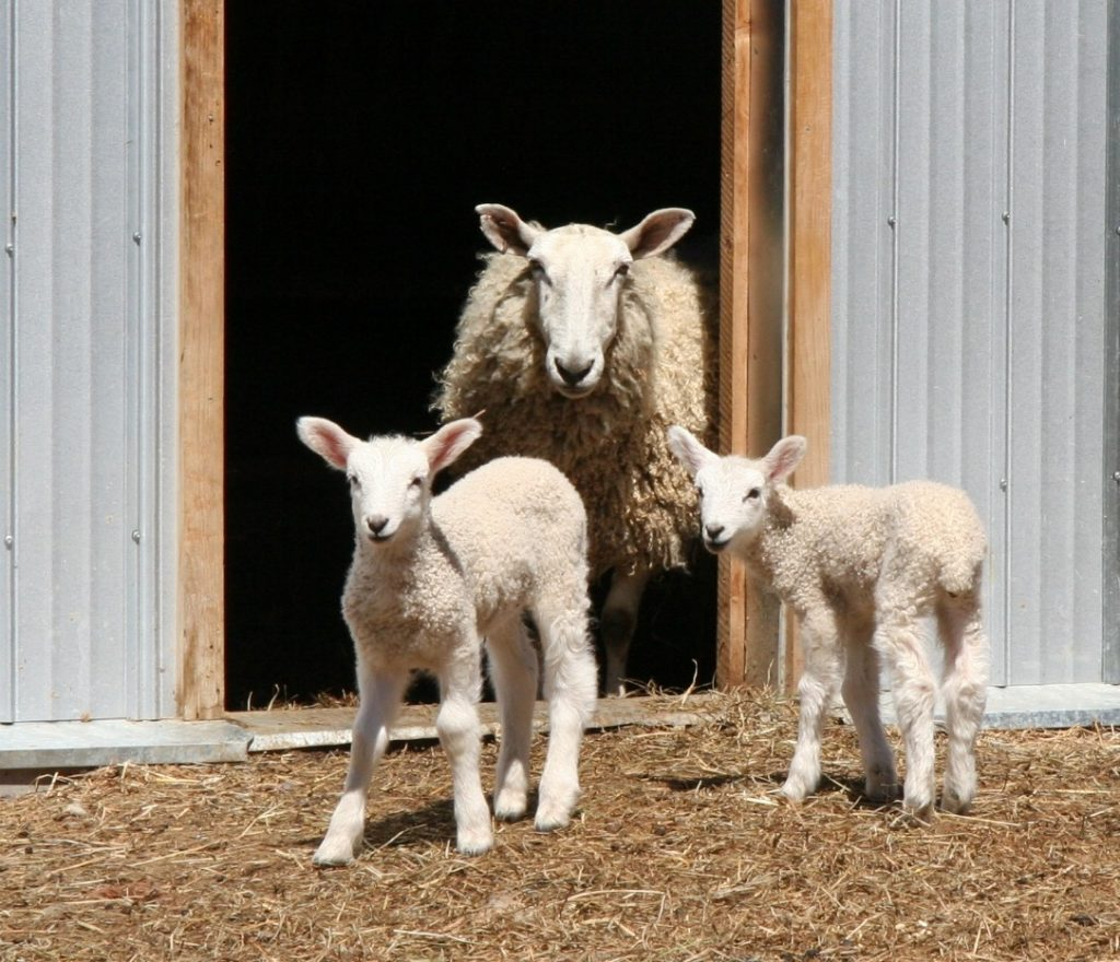 The arrival of new lambs at Upper Canada Village is a sure sign of Spring.